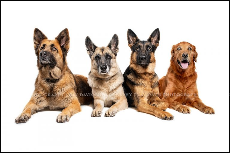 Louisville Dog Portraits on White Backdrop of 3 German sheperds and 1 golden retriever