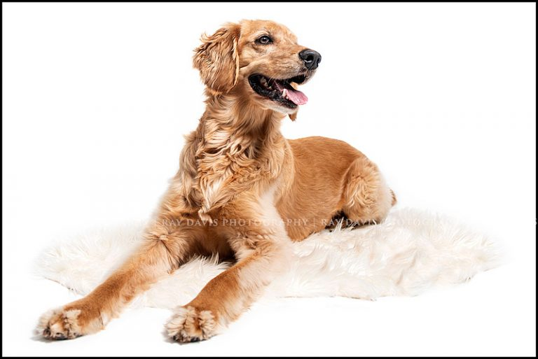 Pet Picture of golden retriever dog on rug taken by Louisville Photographer Ray Davis