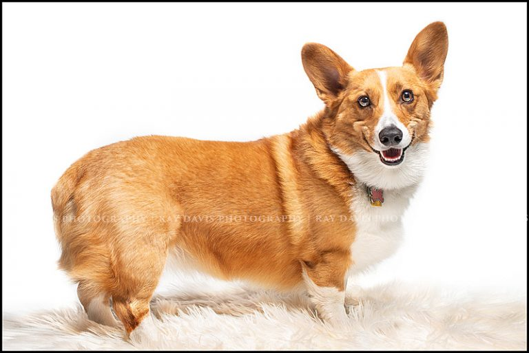 Smiling dog picture of Corgi on white taken by Louisville Pet Photographer Ray Davis